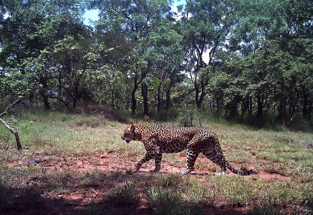 Indian Leopard at Kambalakonda Wildlife Sanctuary