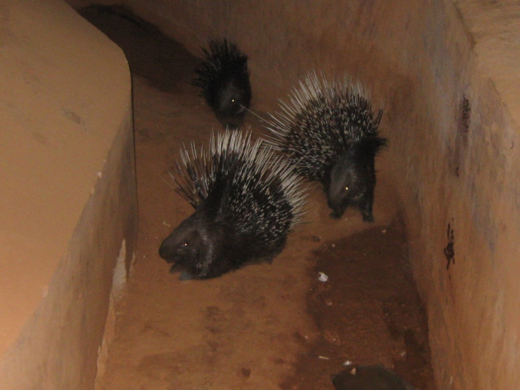 Porcupines in Indira Zoological Park Visakhapatnam